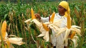 petani jagung 170413