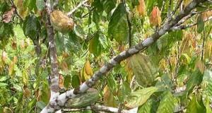 Kakao musim danga