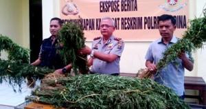 Tanaman ganja yang diamankan Polres Madina
