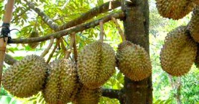 Buah durian Mentong