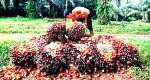 buah sawit ilustrasi