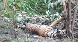 Harimau yang terjerat di Batang Natal