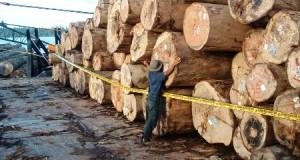 Ilustrasi ilegal loging