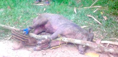 Satu ekor babi hutan berhasil ditangkap petani Desa Tolang, Ulu Pungkut