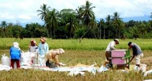 Petani masa panen padi di Huraba, Siabu, Madina