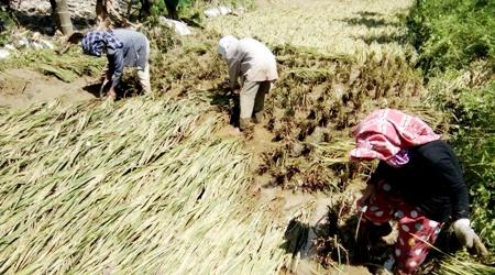 Petani di Muara Siambak memanen padi tersisa