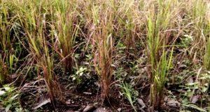 Rumpun padi di Desa Muara Siambak sedikit menghasilkan bulir akibat kerusakan irigasi