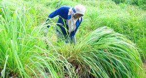 Seorang petani serai wangi hendak memanen