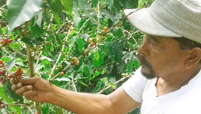 Ali Musa Lubis memanen kopi miliknya di Desa Pastab