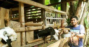 seorang peternak pemula memberi makan ternak kambing