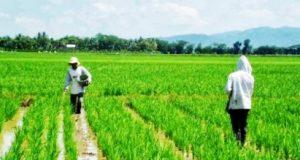 Dua petani sedang memupuk tanaman padi